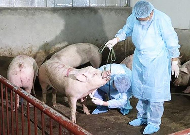 Cán bộ thú y lấy mẫu kiểm tra lợn. Ảnh: PV.