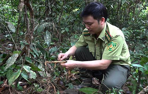Cán bộ kiểm lâm kiểm tra một cây ba kích mọc trong rừng. Ảnh: Sơn Thủy.