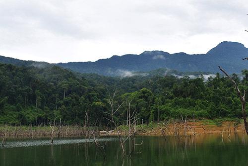 Rừng phòng hộ Đắk Mi, nơi có bá kích tím sinh trưởng, phát triển. Ảnh: Sơn Thủy.