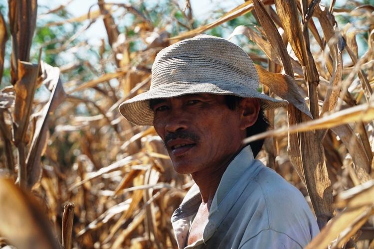 Một nông dân xã Bình Thạnh, huyện Bình Sơn giữa đám bắp cháy khô. Ảnh: Phạm Linh.