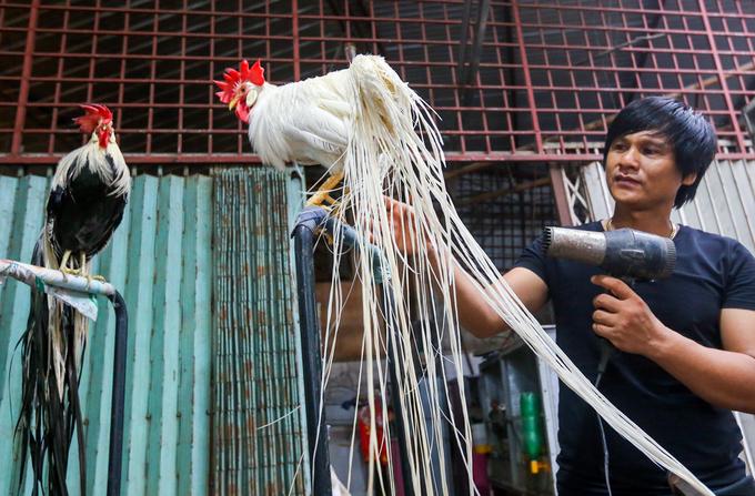 Trại gà đuôi dài giá trăm triệu đồng mỗi con ở Tây Ninh