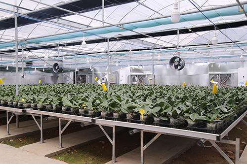 Vườn lan 15.000 cây được chăm sóc hoàn toàn tự động bằng công nghệ cao.Ảnh:Hoàng Táo