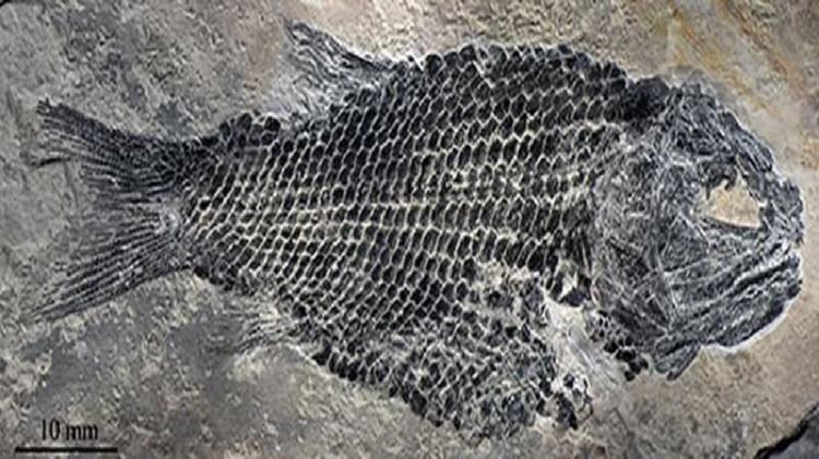 Hóa thạch cá La Bình có niên đại 244 triệu năm. Ảnh: Cnfossil.