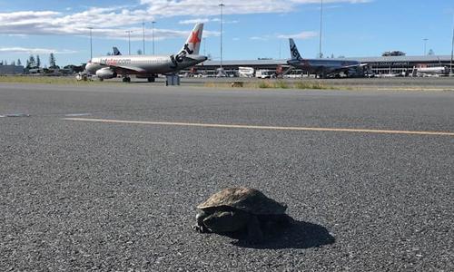 Rùa xuất hiện ở sân bay Gold Coast, Australia, khiến máy bay tạm hoãn cất cánh. Ảnh: AAP.