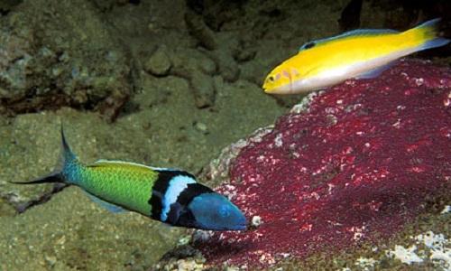 Cá bàng chài đầu xanh đực có màu xanh lá cây và xanh dương bơi cạnh cá cái màu vàng. Ảnh: Florida Museum.