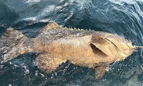 Con cá mú khổng lồ được thả đi sau khi cắn câu do thuộc nhóm động vật vô cùng nguy cấp. Ảnh: Facebook.