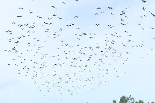 Đàn chim có số lượng lên đến cả nghìn con, xuất hiện lần đầu ở Quảng Trị.Ảnh:Hoàng Táo
