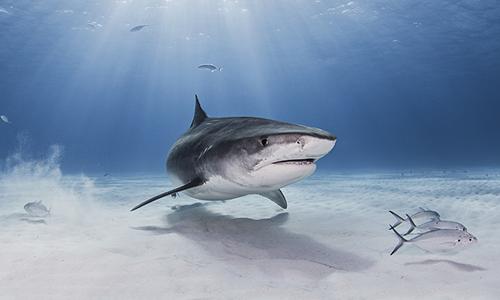 Số lượng cá mập suy giảm nghiêm trọng tại Địa Trung Hải trong những năm qua. Ảnh: CGTN.