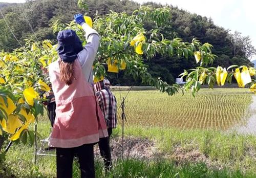Du học sinh làm thêm tại nông trại ở Hàn Quốc. Ảnh: Thế Hiển
