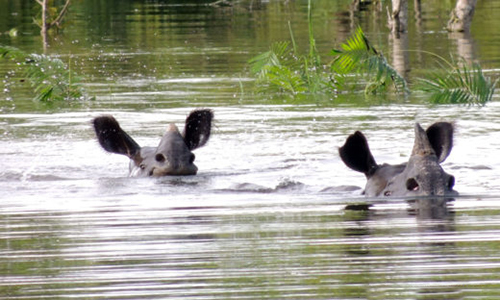 Many wildlife are still trapped in the water in Kaziranga.  Photo: Mongabay.