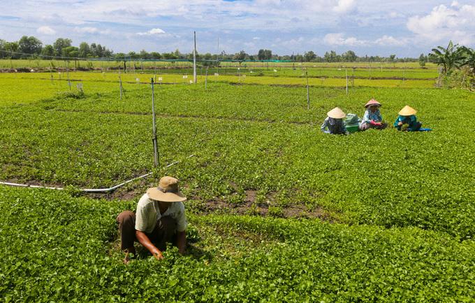 Trồng rau má nghiền lấy bột thu 4 tỷ đồng mỗi năm ở Sài Gòn