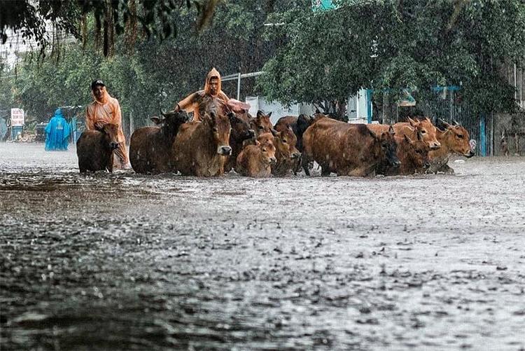 Người dân lùa đàn bò về nhà trên đường Trần Phúngập nước. Ảnh: Riko.