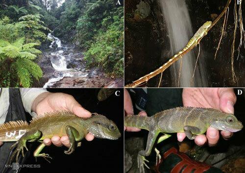 Môi trường sống của rồng đất (ảnh A và B), rồng đất trưởng thành (ảnh C, D). Ảnh: Viện Sinh thái vàTài nguyên sinh vật.