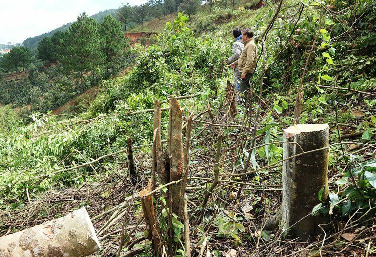 Cây rừng bị đốn hạ hôm 12/8ở phường 5, TP Đà Lạt. Ảnh: Khánh Hương.