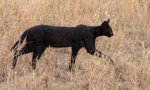 Linh miêu đen bước đi trên đồng cỏ trong công viên quốc gia Serengeti. Ảnh: R.A. Phillips.