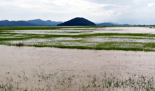 Nước trắng đồng ruộng sau khi đê vỡ. Ảnh: Trần Hóa.