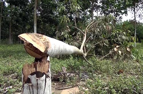 Một cây cao su trồng được hai năm