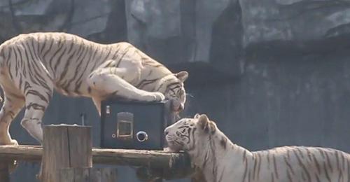 Sở thú mở dịch vụ giữ giấy đang ký kết hôn trong chuồng hổ - 3