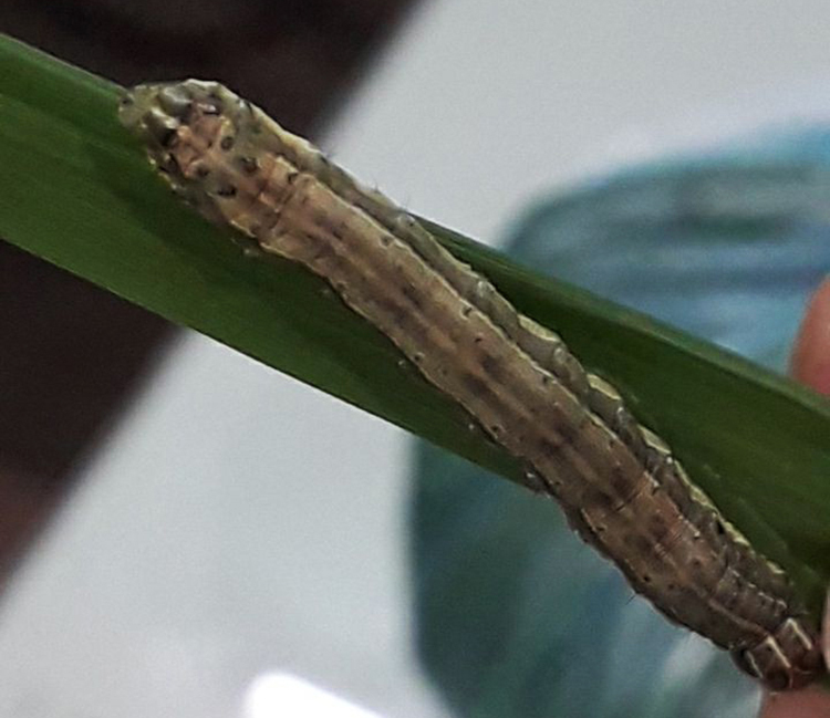 Sâu keo mùa thu (Spodoptera frugiperda) phá hoại lúa ở Nam Định. Ảnh:Chi cục Bảo vệ thực vậtNam Định cung cấp.