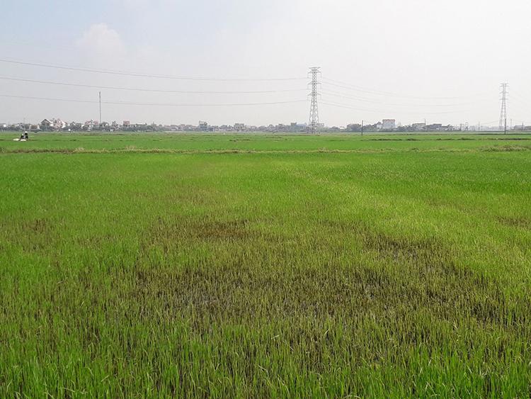 Cánh đồng lúa bị sâu keo mùa thu phá hoại ở Ý Yên (Nam Định). Ảnh: Chi cục Bảo vệ thực vậtNam Định cung cấp.