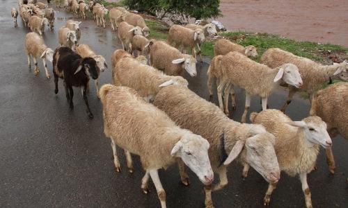 Người đàn ông Ấn Độ được đền 71 con cừu vì vợ ngoại tình -