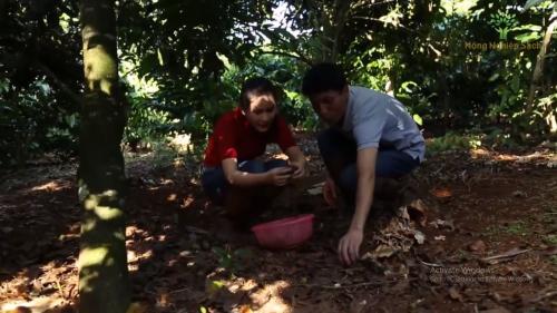 Người dân thu hoạch những trái mắc ca rụng.
