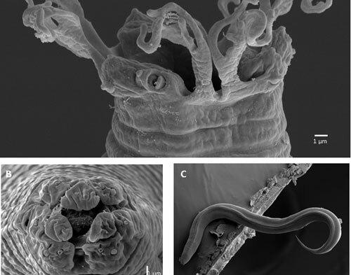 Các mẫu tuyến trùng dưới kính hiển vi điện tử quét (SEM). Ảnh: VAST.