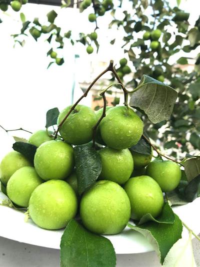 Giống táo Thái Lan có thể phát triển tốt trong thùng xốp.