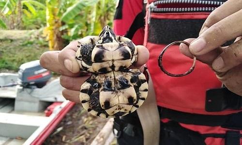 Chiếc mai hình dáng kỳ lạ của con rùa ao. Ảnh: Viral Press.