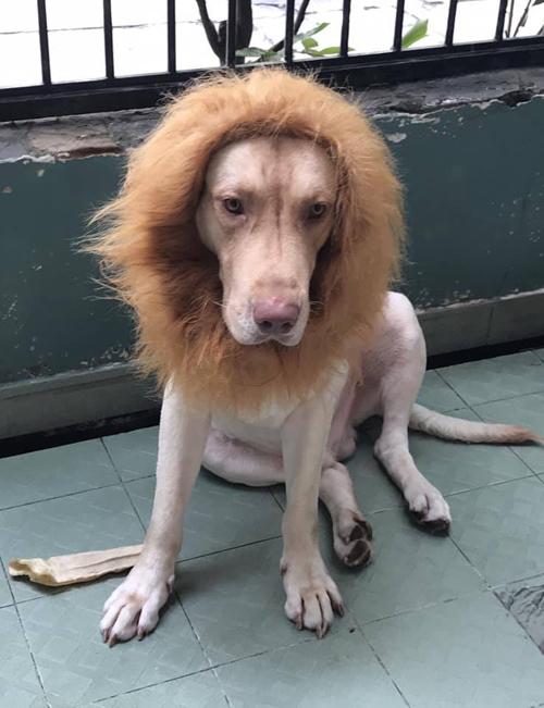 Dù với hình dạng sư tử nhưng cún cưng có vẻ không vui cho lắm.
