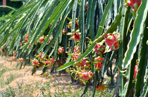 Ở Long An, cây thanh long phát triển rất tốt, được coi là cây trồng chủ lực và được trồng nhiều nhất ở huyện Châu Thành.