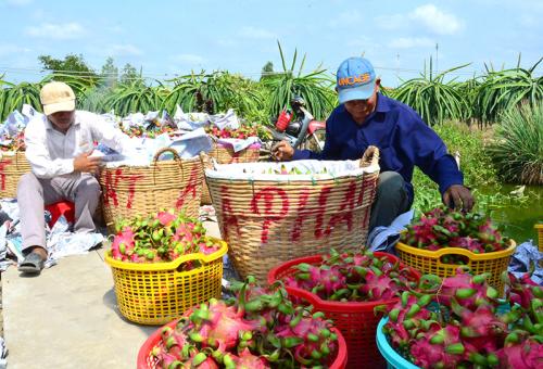 Thanh long có thể xuất khẩu vào các thị trường khó tính.
