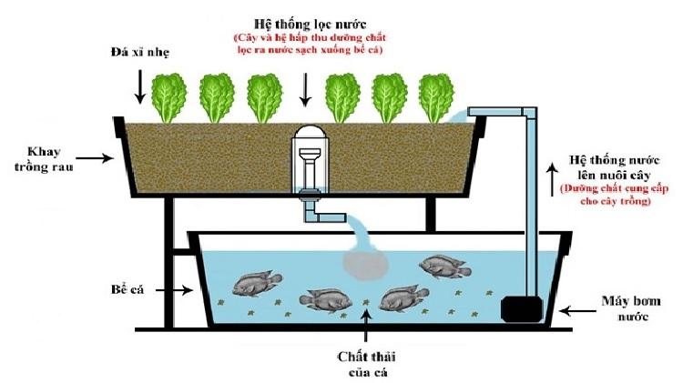 Mô hình kết hợp nuôi cá và trồng rau thủy canh. Ảnh: NVCC.