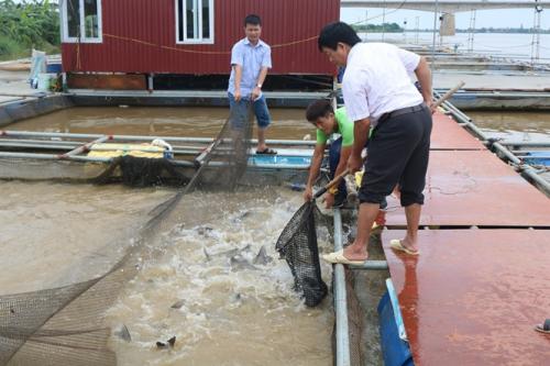 Thu hoạch cá lồng trên sông Hồng.