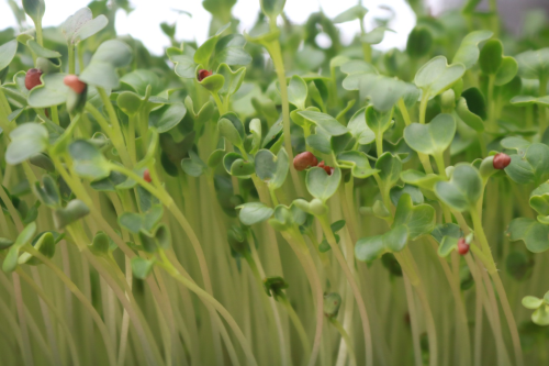 Ba loại rau mầm dễ trồng tại nhà