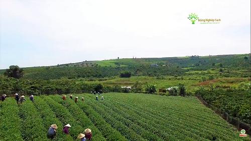 Vùng trồng chè Ô long tại Lâm Hà, Lâm Đồng.