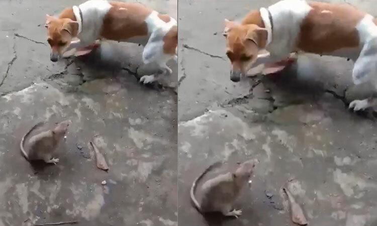Chó và mèo bất lực khi gặp chuột -