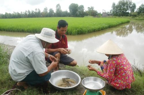 Mô hình sản xuất tôm – lúa góp phần giảm chi phí sản xuất, tăng năng suất và lợi nhuận.