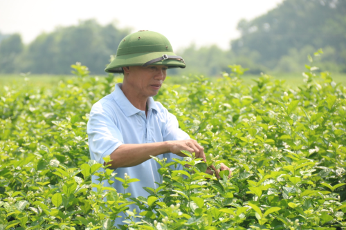 Ông Liêm, người gắn bó với nghề trồng hoa nhài nhiều năm. Ảnh: Dương Lan