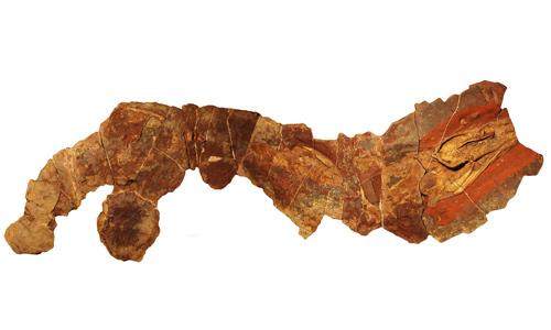 Hóa thạchcá mập Phoebodus ở Morocco. Ảnh: Fox News.