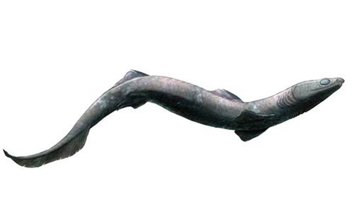 Cá mập Phoebodus cổ đại có cơ thể dài giống lươn. Ảnh: Fox News.