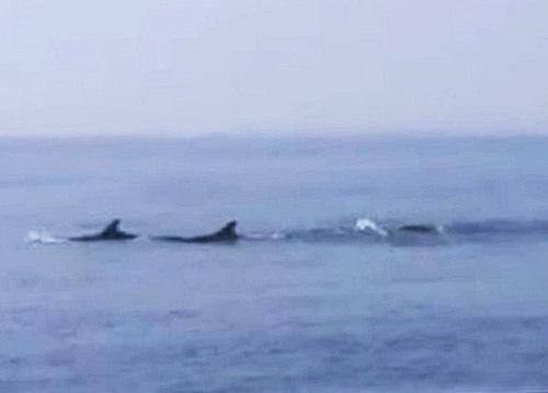 Đàn cá heo bơi trên biển Cửa Đại - ảnh 2