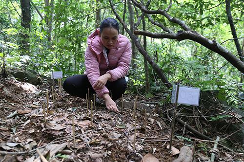 Quảng Trị thử nghiệm trồng sâm Ngọc Linh - ảnh 2