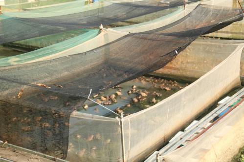 Mô ô đất được nuôi lượng ếch vừa phảm đảm bảo ếch được phát triển tốt nhất (Ảnh: Dương Lan)
