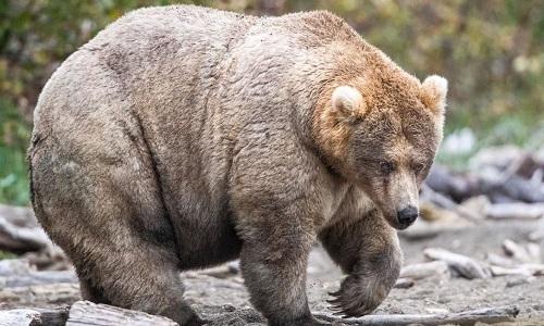 Gấu Holly nặng gần 2 tạ. Ảnh: CNN.