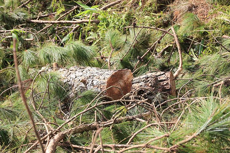 Cưa thông, lấn chiếm 1.200 m2đất rừng