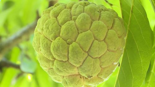 kHI trồng và chăm sócđúng kỹ thuật, na có thể có trọng lượng từ 2 - 5 lạng/quả  và có hương vị thơm ngon.