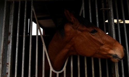 Người Australia phẫn nộ vì hàng trăm ngựa đua bị giết thịt - ảnh 1