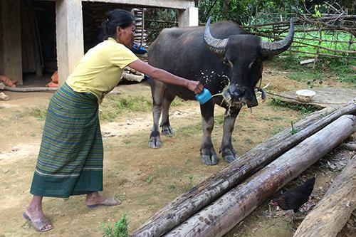 Dịch bùng phát sau khi dân nhận trâu bò giống - ảnh 2
