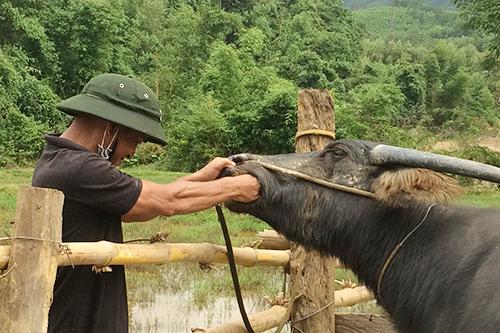 Dịch bùng phát sau khi dân nhận trâu bò giống - ảnh 3